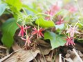 White pink red Flower Combretum indicum Rangoon Creeper Chinese honey Suckle Drunen sailor Slither on dry banana leaves blurred of Royalty Free Stock Photo