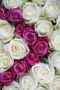 White and pink roses Stock Image