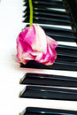 White and pink tulip on piano keys Royalty Free Stock Photography