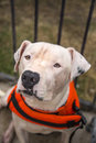 White pitbull in an orange swim vest a picture of a Stock Image