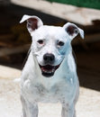 White pitbull smiling and posing for portrait a her photo at the pool standing Stock Images