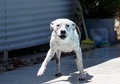 White pitbull smiling after shaking off water a all the from swimming in the pool Stock Photography