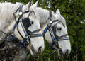 White Plow Horse Royalty Free Stock Photo