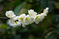 White plum blossom on the trees photo taken on Stock Photo