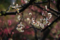 White plum blossom on the trees photo taken on Stock Photography