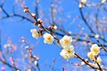 White plum blossoms. Royalty Free Stock Photo