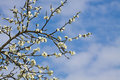 White plum tree flowers and blue sky in springtime Royalty Free Stock Photo