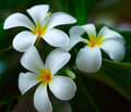 White plumeria. Stock Photography