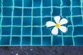 White plumeria floating in a swimming pool of a thai resort Stock Images