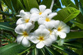The white plumeria flower Royalty Free Stock Photo