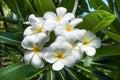 The white plumeria flower Royalty Free Stock Photo