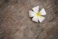 White  plumeria flower  on grunge wood Royalty Free Stock Photo