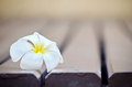 White plumeria flower on lath floor Stock Images