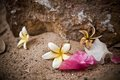 White plumeria flower on sand floor flowers wilt pink bougainvillea debris shot from the garden Royalty Free Stock Image