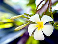 White plumeria flowers. Royalty Free Stock Photos