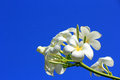 White plumeria flowers blooming on blue sky background Stock Photos