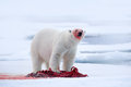 White Polar Bear On Drift Ice ...