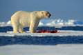 White polar bear on drift ice with snow feeding kill seal, skeleton and blood, Svalbard, Norway Royalty Free Stock Photo