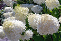 White pom pom flowers large in the shape of poms or cones Royalty Free Stock Photography
