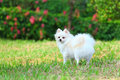 White Pomeranian dog Stock Photo