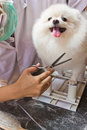 A white pomeranian smile Stock Photography