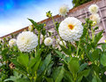 White pompon dahlias in a garden at the stone wall Royalty Free Stock Photos