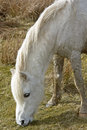 White pony feeding, England Royalty Free Stock Images