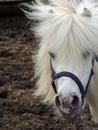 White pony with mane Royalty Free Stock Photo