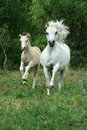 White pony mare with foal running in grass with trees behind Royalty Free Stock Image