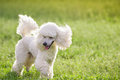 White poodle dog running on green grass  field Royalty Free Stock Photo