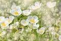White poppies Royalty Free Stock Photo