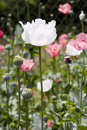 White poppy flower Stock Images