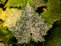 White powdery mildew on cucumber plant Royalty Free Stock Photo