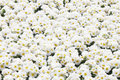 White primula flowers on flowerbed Stock Photos