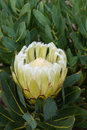 White Protea Flower In Bloom