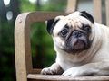 White pug on a chair laying outdoor under natural sunlight with nice green bokeh background making sadly face Stock Images