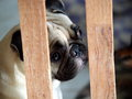 White pug dog in a cage lovely lonely inside wood making sad face Royalty Free Stock Photography