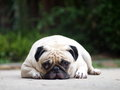 White pug laying on the floor under natural sunlight and green bokeh background Stock Images