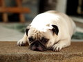 White pug laying with sadly face on the floor Stock Photo