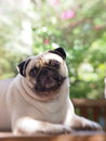White pug laying on a table with funny face Stock Photography