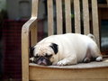 White pug laying on a table wooden chair Royalty Free Stock Photo