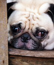 White pug laying on a table wooden chair headshot closeup making sad unhappy face Stock Photo