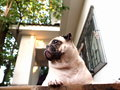 White pug on a table outdoor under sunlight worm eye view perspective with resort style house in background Stock Photography