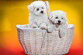 White puppies in a white basket fluffy for children wants to play Royalty Free Stock Image