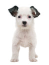 White puppy Royalty Free Stock Photo