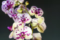 White and purple blooming orchid Royalty Free Stock Photo