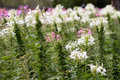 White and purple flower shrub Stock Image
