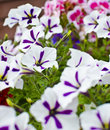 White and purple pansies  Stock Photo