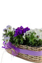 White and purple pansies in a decorative wicker basket isolated on white background Royalty Free Stock Photo