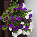 White and purple petunia flowers in hanging pot Royalty Free Stock Photo